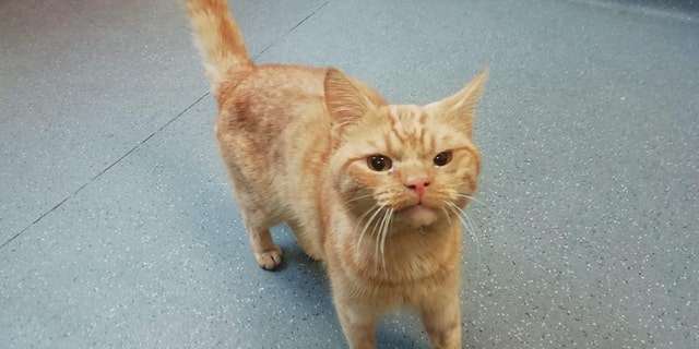 Also known as Saul, the ginger cat was found on the street where vets think he was hit by a car.