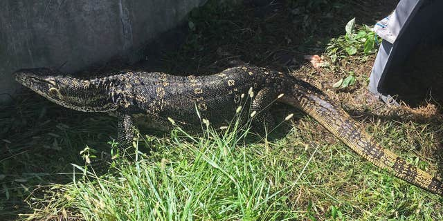 The lizard was finally captured on Tuesday, wildlife officials said.