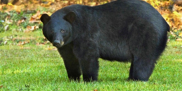 FILE: The Louisiana black bear is one of 16 subspecies of the American black bear.