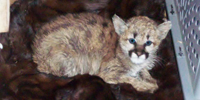 The baby mountain lion was discovered on Monday, after residents said they discovered it in a snowbank.