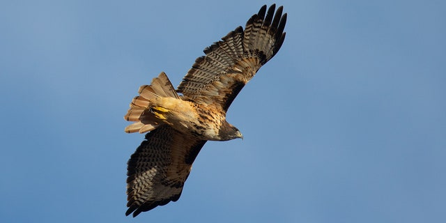 A red-tailed hawk.