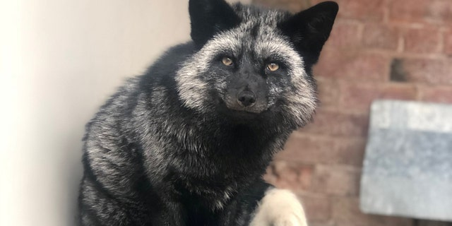 Rare admission at RSPCA center after silver fox found in Cheshire garden.(Credit: SWNS)