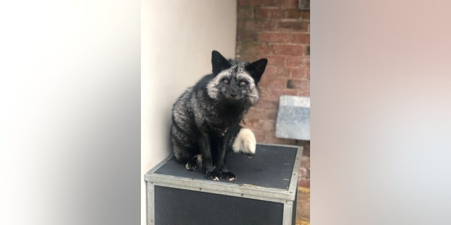 Rare admission at RSPCA center after silver fox found in Cheshire garden.(Credit: Anna McArdle)