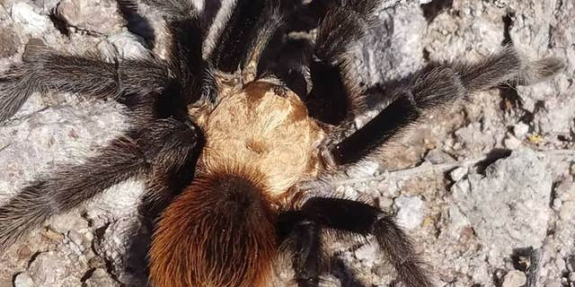 The tarantula made it across the body of water, park officials said.