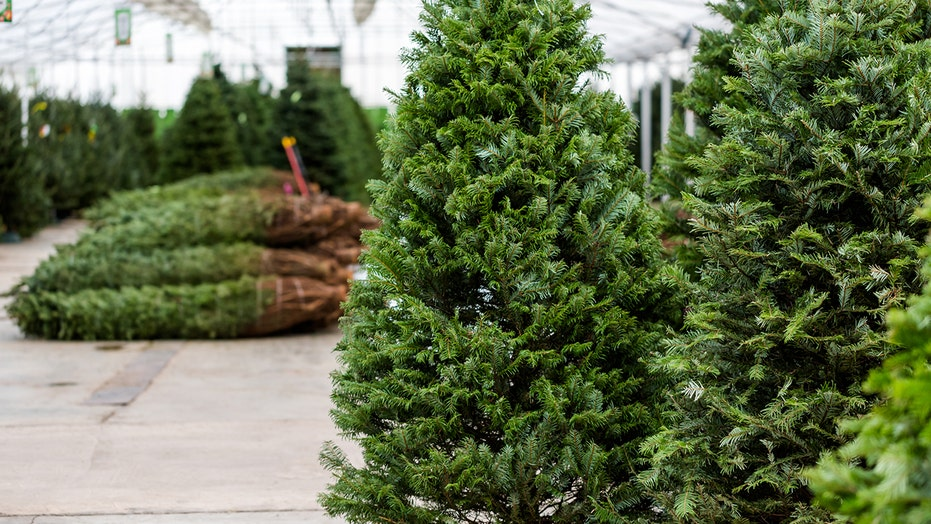 Christmas tree have walnut-shaped masses on it? Don't bring them inside