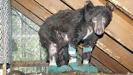 Bear in Washington that survived burns from wildfire was shot, killed by hunter, officials say