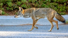 'Aggressive' coyote in Texas attacks two joggers on morning run: 'It just kept coming and coming'