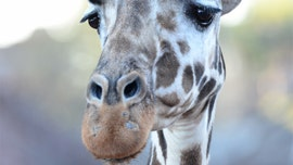 Tamu, oldest giraffe in North America, dies at Colorado zoo