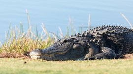 Huge alligator devours snake at PGA tournament in Louisiana