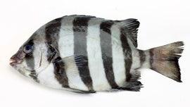 Japanese 'tsunami fish' found off the California coast seven years later