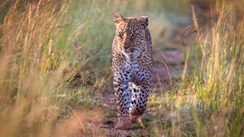 Leopard kills, decapitates boy, 3, in India after animal sneaks inside kitchen