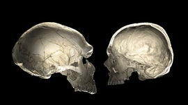 Do you carry Neanderthal DNA? The shape of your skull may tell.