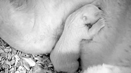 Polar bear cub caught snuggling with mom in adorable pics