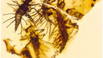 130-million-year-old insects trapped in amber right when they were born