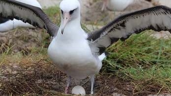 Wisdom, the world's oldest wild bird, lays another egg at 68