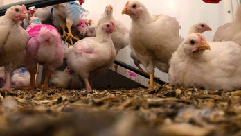 Amid salmonella outbreak, CDC warns: Don't 'kiss or snuggle' chickens