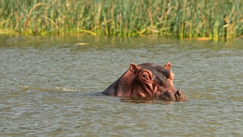 Florida woman attacked by mother hippo during Zimbabwe canoe trip, reports say