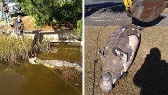 Dead manatee pulled from South Carolina drainage area