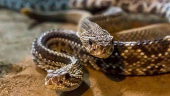 Texas man 'freaked out' after finding more than 30 rattlesnakes slithering under shed