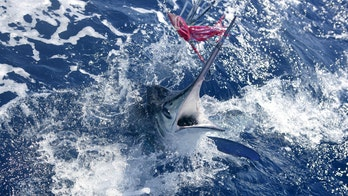 Fisherman criticized by fellow anglers, animal activists over 1,400-pound marlin catch
