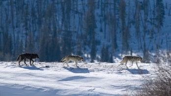 'Beloved' wolf killed just outside Yellowstone renews debate over buffer zones