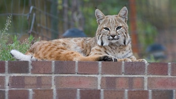 Family has pet bobcat returned after court battle