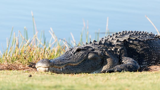 Huge alligator devours snake at PGA tournament in Louisiana