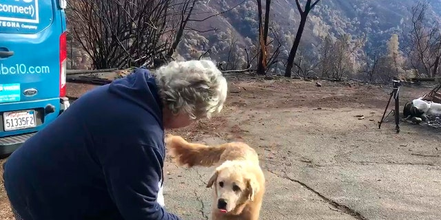 """""""Madison,"""" the Anatolian shepherd dog that apparently guarded his burned home for nearly a month, approaches his owner, Andrea Gaylord, as she was allowed back to check on her burned property in Paradise, Calif. (Shayla Sullivan via AP)"""