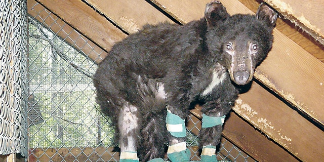 Cinder the black bear shortly after the wildfire.