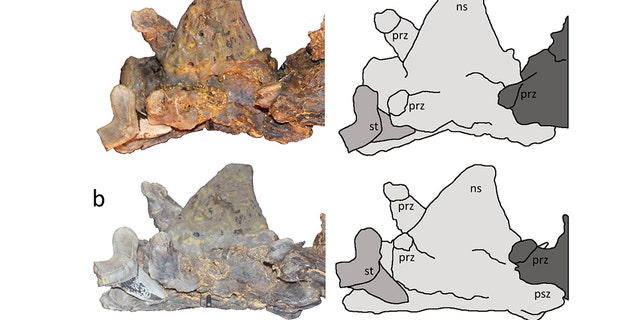 Two views of the Cretoxyrhina mantelli tooth with tracings.