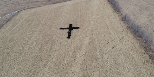 Gene Hanson took a picture of his neighbor's Angus cattle eating while forming the shape of a cross Wednesday, December 19.