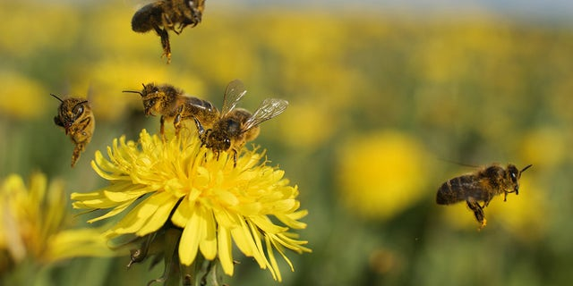 Honey bees pollinate a variety of crops, such as apples and melons.