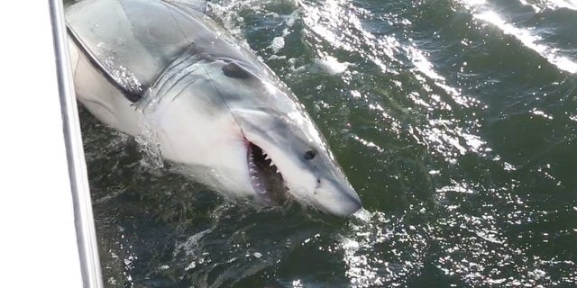 A roughly 10-foot great white Michalove hooked and tagged Tuesday. (Chip Michalove/ Outcast Sport Fishing)