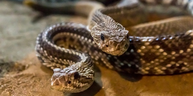 The Texas rancher found the snakes under his hunting shed.