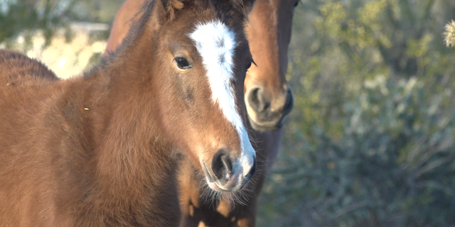 For centuries, wild horses have been a western icon, freely roaming open pastures in states like Montana, Wyoming and Arizona.