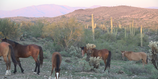 The group that helped the wild horses said many were close to death and needed to be rescued because they were so emaciated.