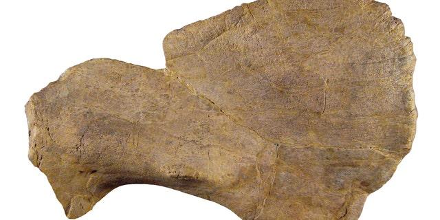 Crittendenceratops' squamosal bone.