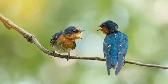 """""""The image of 'killing two birds with one stone' is, if anything, made more powerful by the animal-friendly alternative of 'feeding two birds with one scone,' Hamzah wrote."""