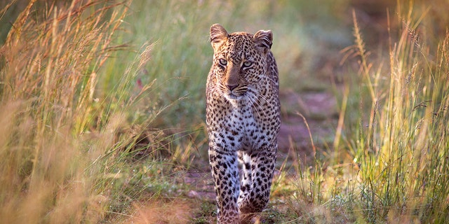 The killing of the three-year-old boy was the third blamed on the same leopard in the last two months.