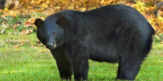 FILE: The Louisiana black bear is one of 16 subspecies of the American black bear.  (U.S. Fish and Wildlife Service)