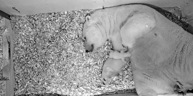 A polar bear cub the size of a guinea pig looks to be dreaming of a white Christmas in adorable secret footage. (Credit: SWNS)