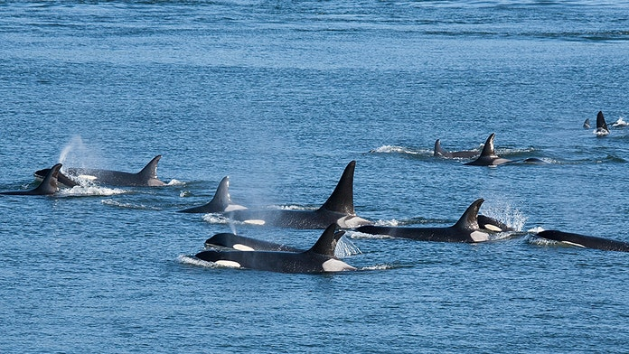 Killer whales surround New Zealand woman in stunning drone footage