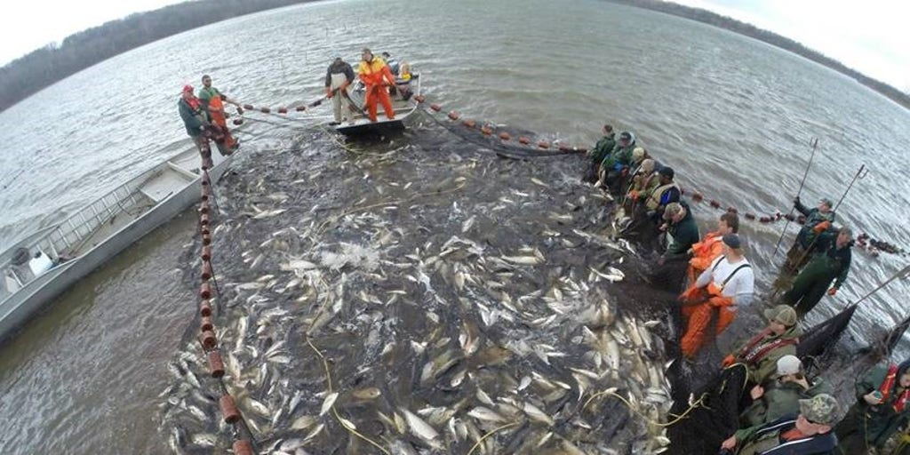 Costly Effort To Fight Invasive Asian Carp Includes Carp Cowboys