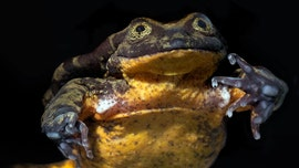 World's 'loneliest' frog, Romeo, finally has his Juliet