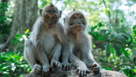 Indian woman, 60, chased to her death off rooftop by gang of monkeys