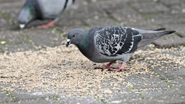 2 patients die after contracting infection linked to pigeon droppings