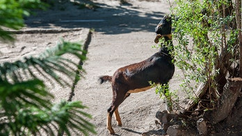 Californians start 'Goat Fund Me' to bring in animals as wildfire prevention