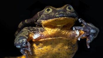 World's 'loneliest' frog, Romeo, finally has his Juliet