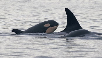 Newborn orca spotted off Seattle coast. Will the baby survive its 1st year?