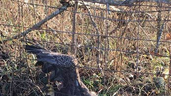 Bald eagle in Missouri found caught in fence may have ingested poison, officials say
